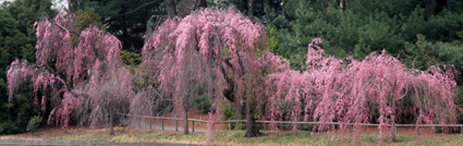 Japanese Hill-and-Pond Garden: weeping Higan cherry, Prunus subhirtella 'Pendula'. (Photo by Lia Chang)