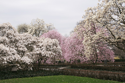 Magnolia Plaza at Brooklyn Botanic Garden (Photo by Lia Chang)