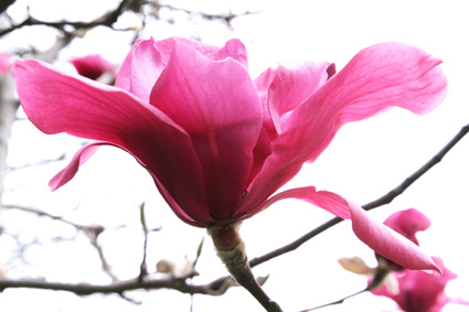 Saucer Magnolias (Photo by Lia Chang)