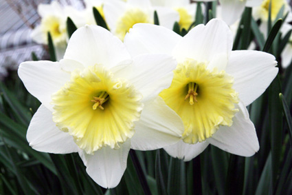 Narcissus (Photo by Lia Chang)