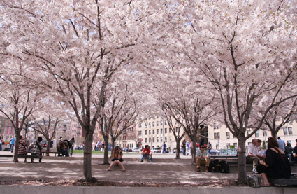 Cherry Blossoms in front of the Brooklyn Botanic Garden (Photo by Lia Chang)