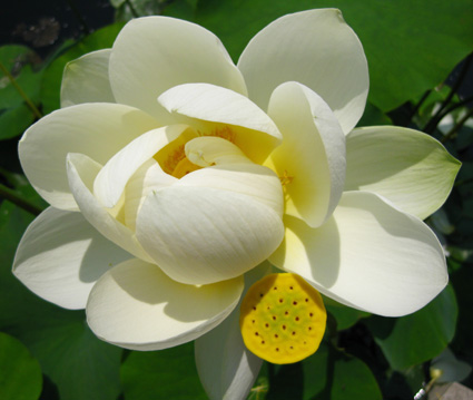 A sacred lotus for my Auntie Minnie, with much love and affection. (Photo by Lia Chang)