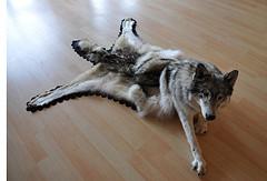 Wolf, felt, 6' x 4' x 2.5', Native Artist Nicholas Galanin