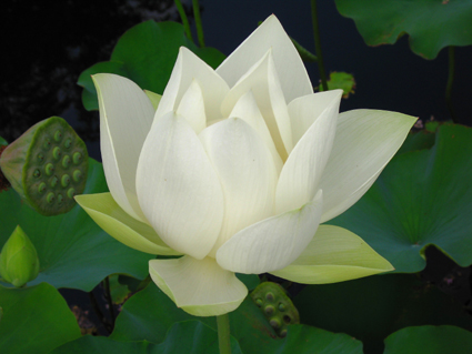 White Sacred Lotus © Lia Chang