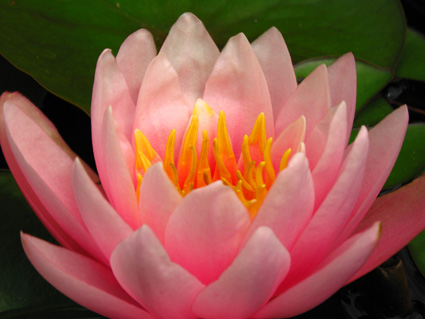 Sunny Pink Water lily © Lia Chang