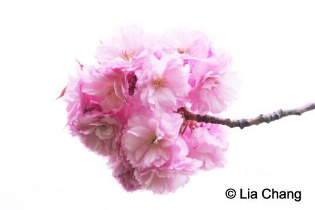 Cherry Blossoms at the Brooklyn Botanic Garden © Lia Chang