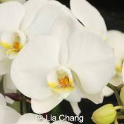 orchid_photo by lia chang 12