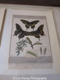 Original, vibrant color plates of numerous butterflies by celebrated American artist and naturalist Titian Ramsay Peale II (1799–1885). Photo by Lia Chang