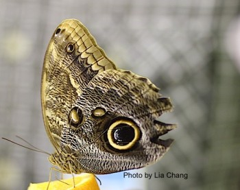 An Owl Butterfly at The Butterfly Conservatory at the American Museum of Natural History in New York. Photo by Lia Chang